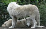 Wild animal 256 - lovers white wolves by Momotte2stocks