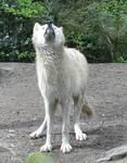 Wild animal 260 - waiting white wolf by Momotte2stocks