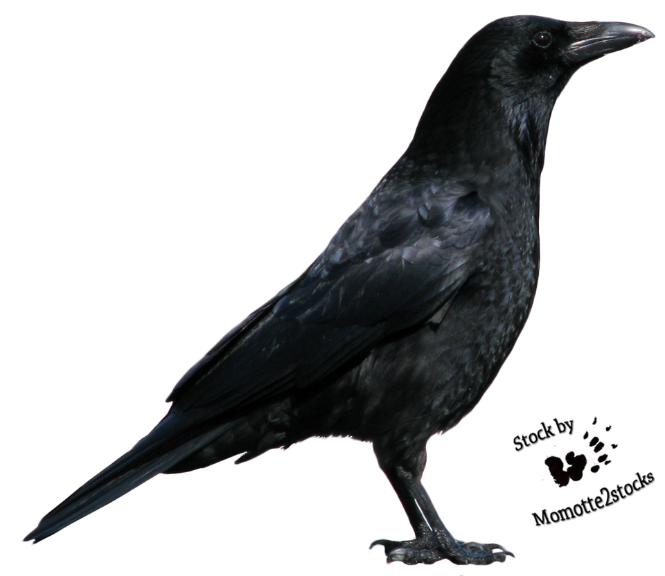 cut out stock png 06 nice crow profile by momotte2stocks on