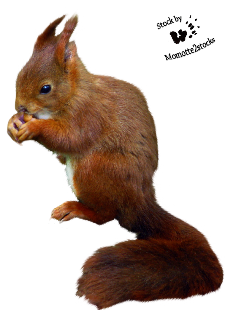 Cut Out Stock Png 08 Nice Red Squirrel By Momotte2stocks