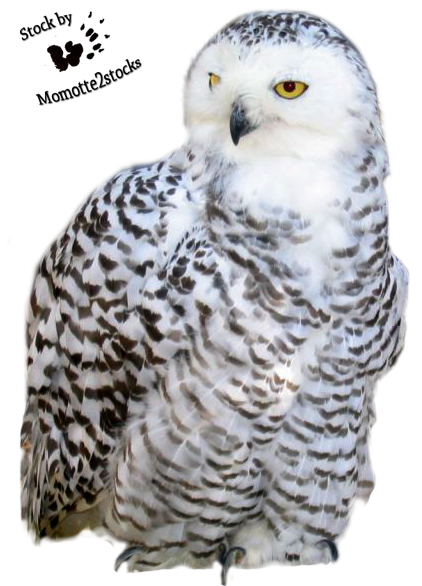 Cut Out Stock Png 20 Snowy Owl By Momotte2stocks On