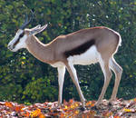 Wild animal 293 - young springbok by Momotte2stocks