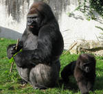 Wild animal 294 - angry gorilla by Momotte2stocks