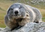 Marmot 63 - sweet Bonny on rocks by Momotte2stocks