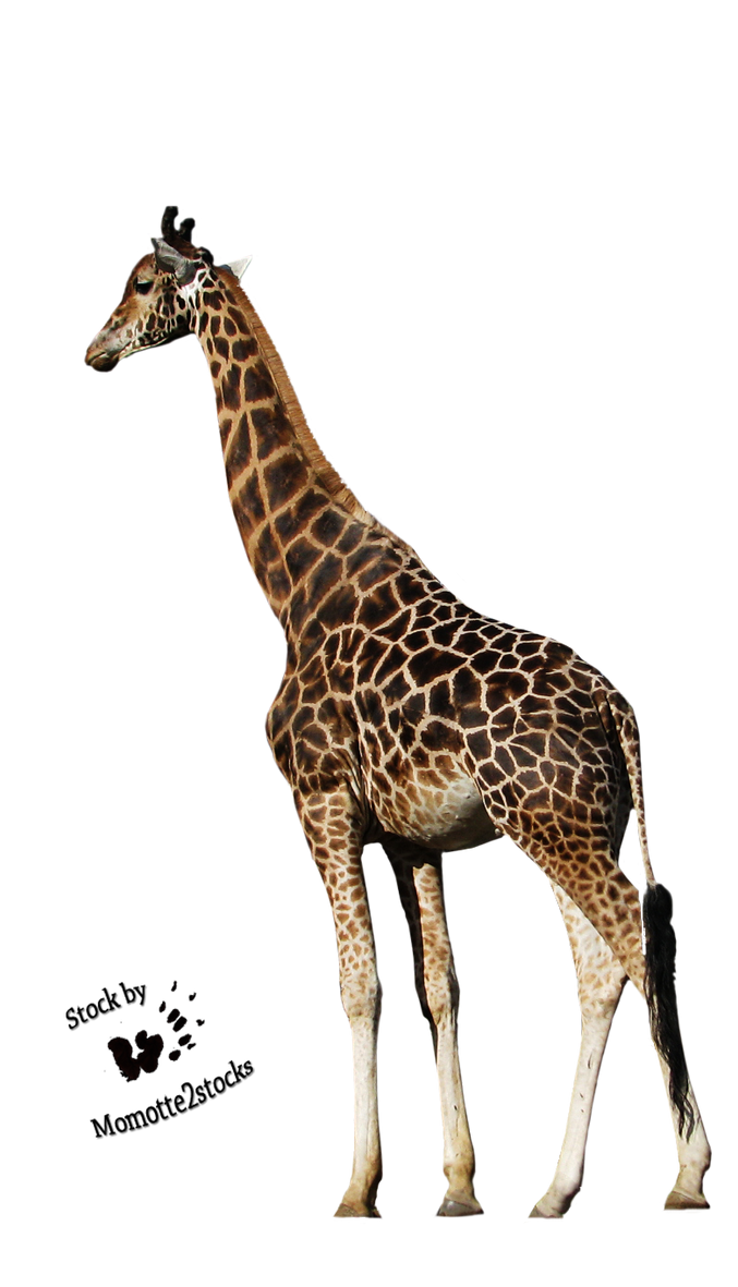 Cutout Stock Png 39  Peaceful Giraffe By Momotte2stocks. Restaurant Employee Schedule Template. Simple Java Developer Resume Sample. Tumblr Header Size. Impressive High School Resume Template. Graduation Open House Invitation. Wedding Planner Questionnaire Template. Financial Aid For Graduate School. Easy Invoice Template Services Rendered