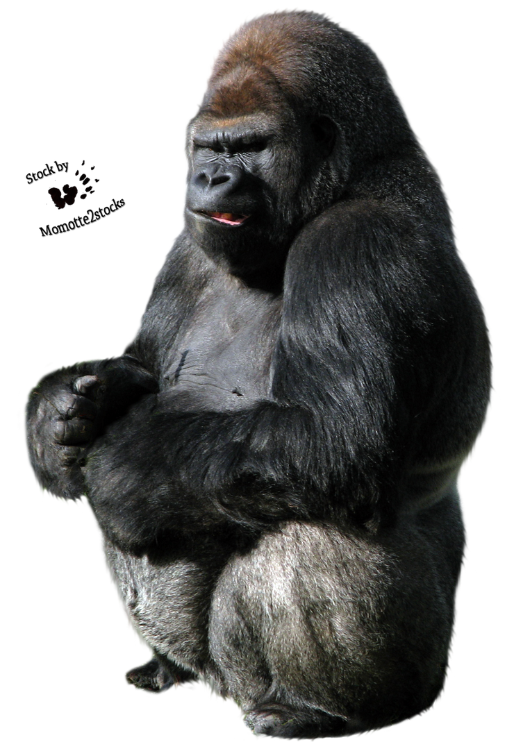 Cut Out Stock Png 40 Gorilla By Momotte2stocks On Deviantart