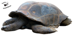 Cut-out stock PNG 42 - tired tortoise by Momotte2stocks