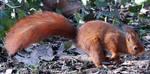 Wild animal 308 - running squirrel by Momotte2stocks
