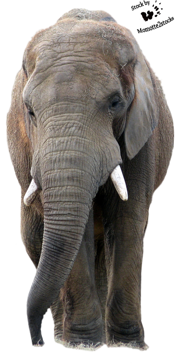Cut Out Stock Png 51 Wise Elephant Walking By