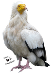 Cut-out stock PNG 55 - Egyptian vulture by Momotte2stocks
