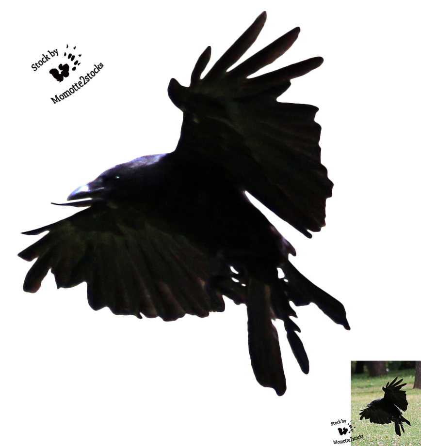 cutout stock png 70 flying crow by momotte2stocks on