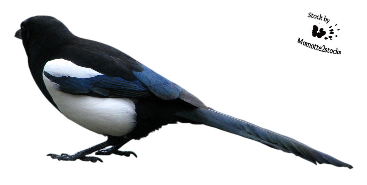 cut out stock png 71 attentive magpie by momotte2stocks on
