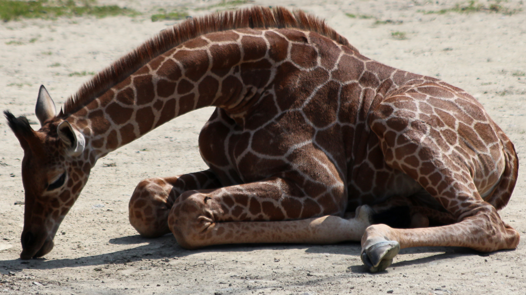 Wild animal 314 - baby giraff by Momotte2stocks