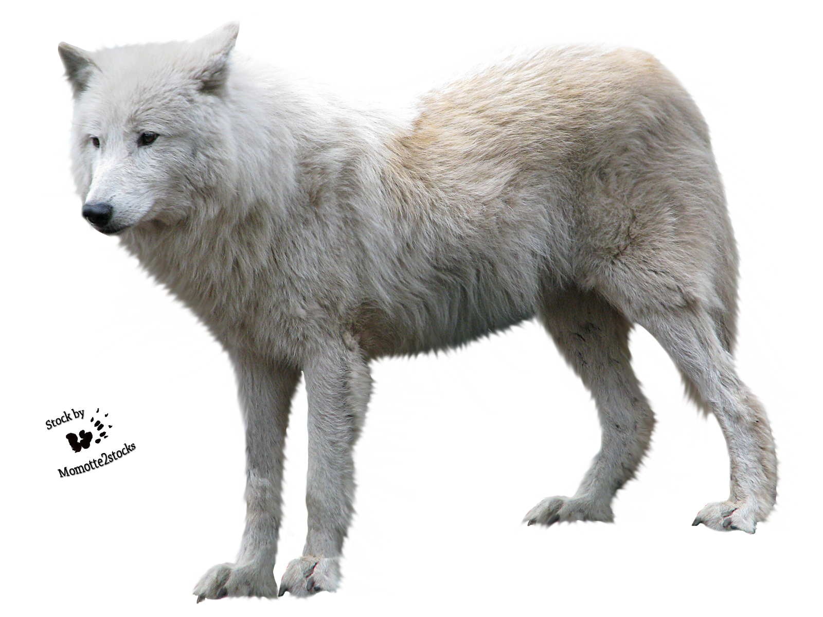 Cut-out stock PNG 90 - white wolf profile by Momotte2stocks