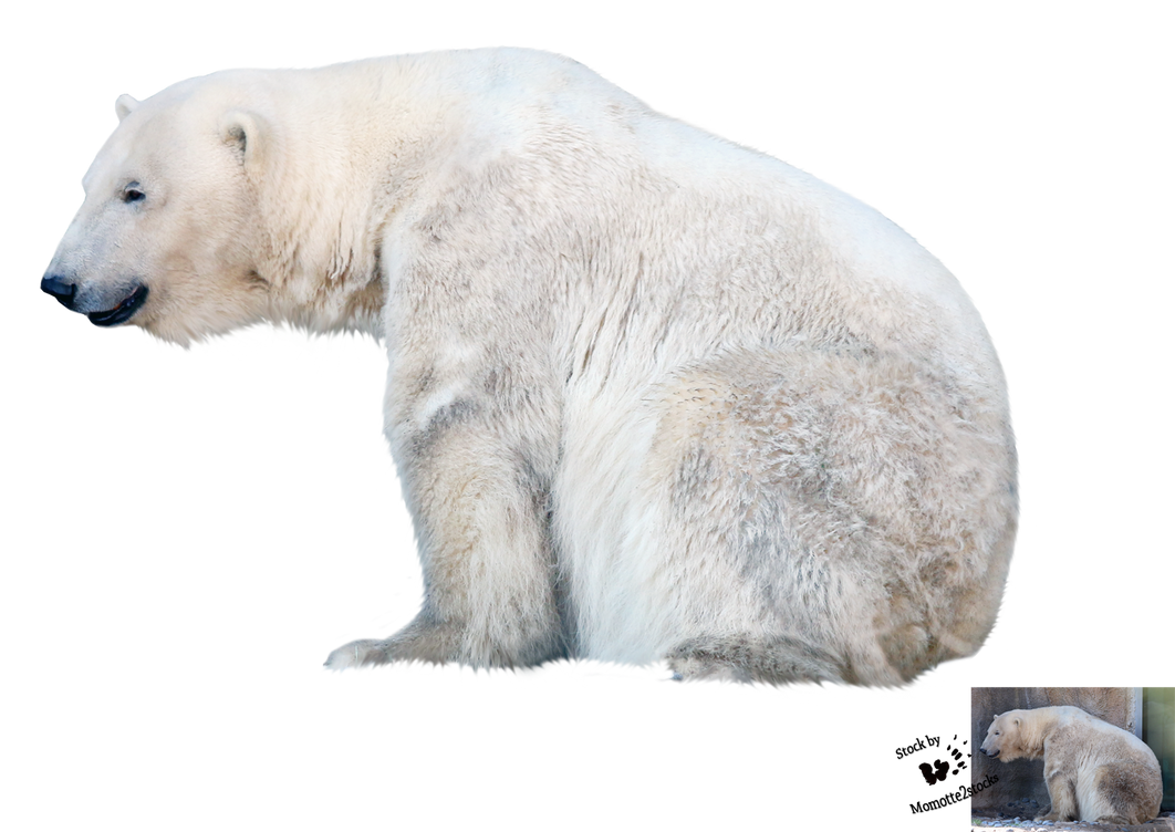 cutout stock png 94 polar bear by momotte2stocks on