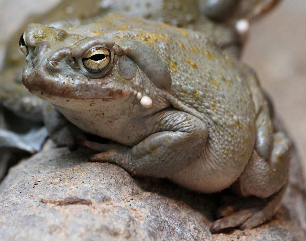 Animal 54 - sweet eyes of the frog by Momotte2stocks
