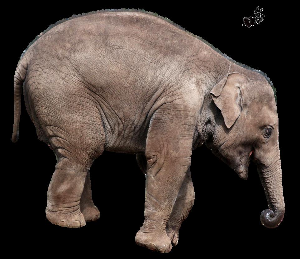 صور فيله صور فيله للتصميم صور فيله png صور فيله cut_out_stock_png_103___playing_young_elephant_by_momotte2stocks-d8ftxjv.png