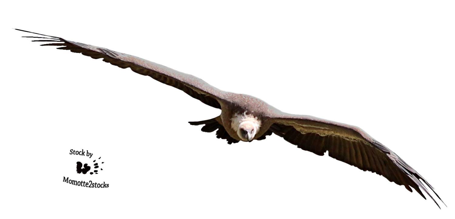 Cut-out stock PNG 107 - flying vulture by Momotte2stocks