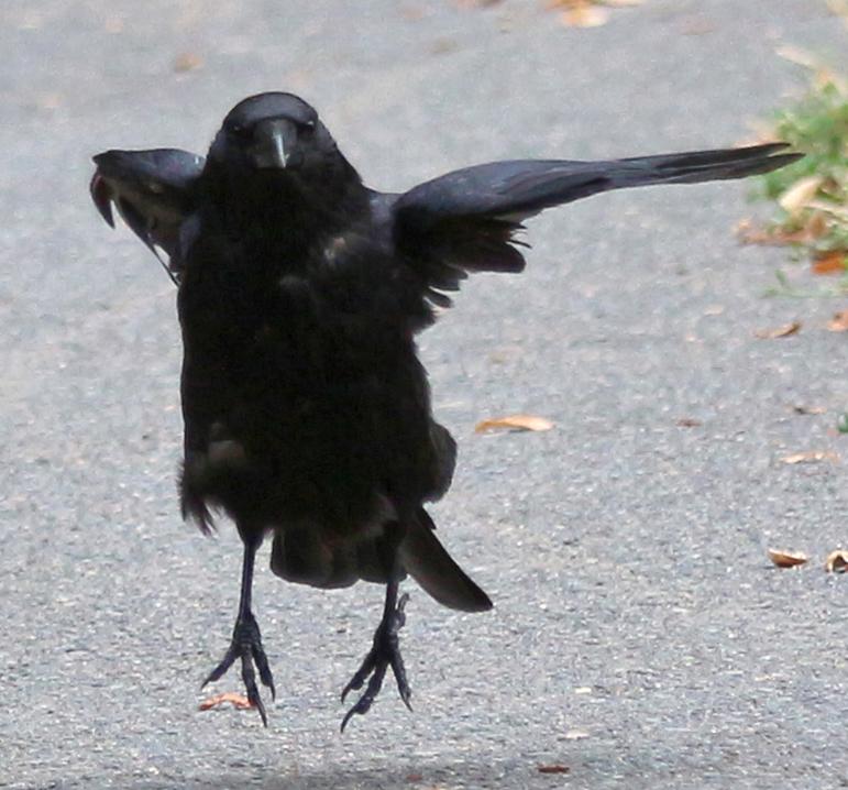 Bird 336 Funny Jumping Crow By Momotte2stocks On Deviantart