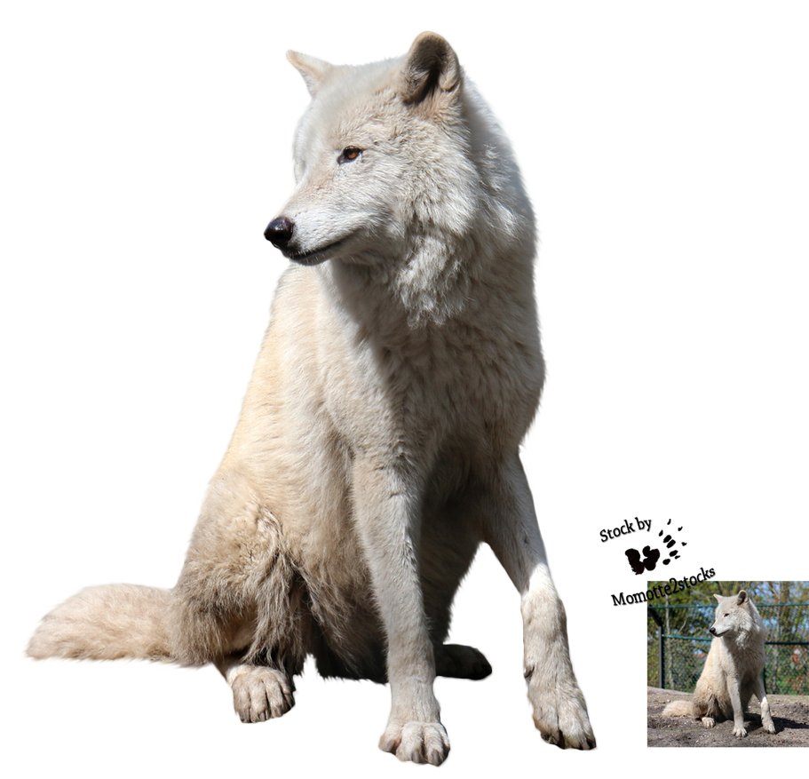 Cut Out Stock Png 116 Quiet White Wolf By Momotte2stocks On Deviantart