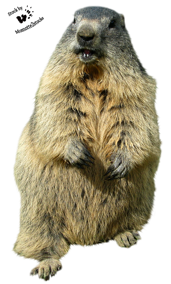 Cut-out stock PNG 126 - laughing marmot by Momotte2stocks