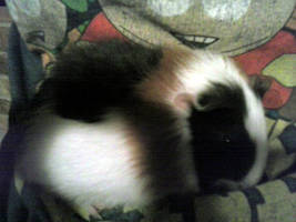 Snickerz The Guinea Pig by KelseyIsCrazzzy