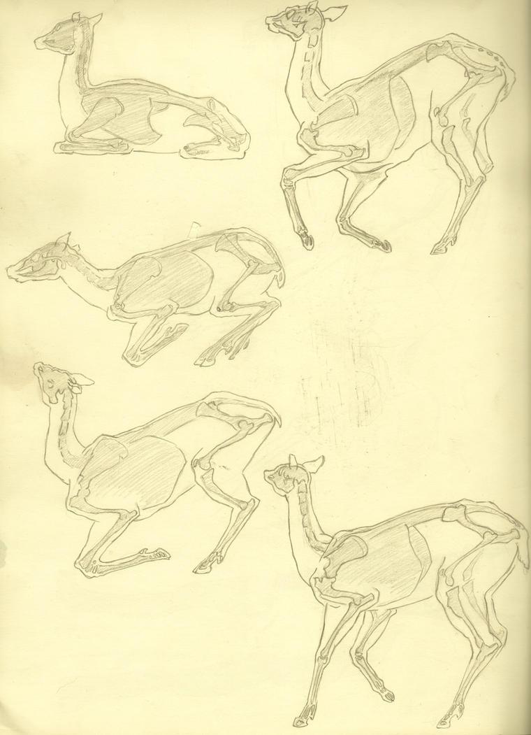 anatomy study - deer by nekosaki88 on DeviantArt