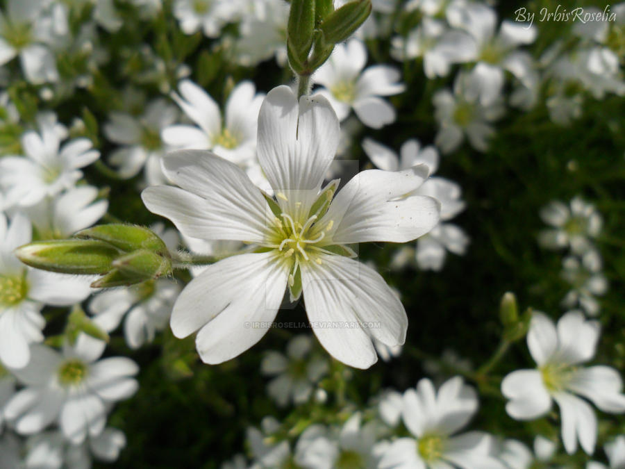 White star by IrbisRoselia