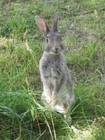Rabbit by blahonga