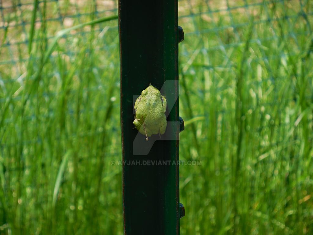 Frog by Ayjah