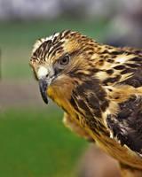 Redtailed Hawk by WayneBenedet
