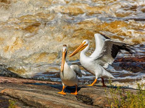 Dance of the Pelicans (WAB2595)