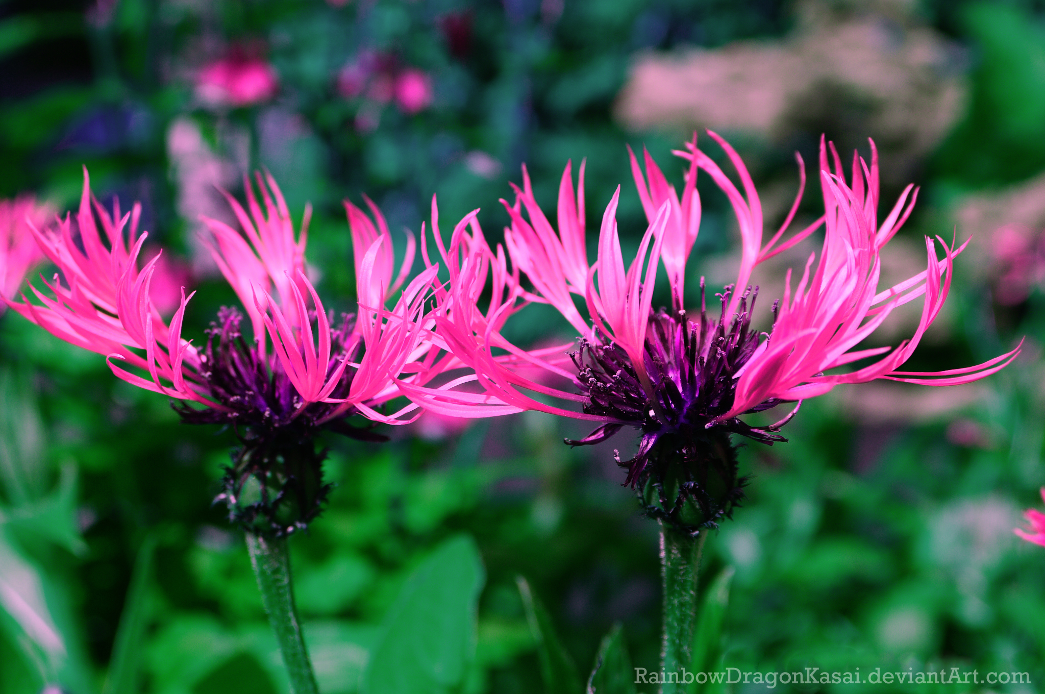 Pink flower by Miriam-Hiromi