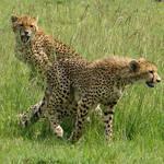 two young cheetah by tanzafari