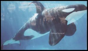 Killer Whale 0001