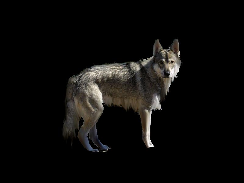 صور ذيب صور ذئاب سكرابز ذئاب صور ذيب مفرغة صور precut_by_scyllawolf-d4ebyif.png