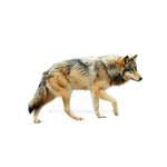 Wolf png.