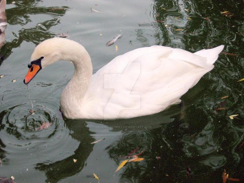 Swan by drveniadvokat