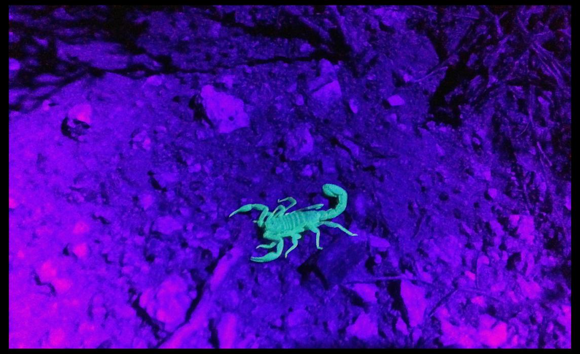 UV SCORPION by rhesusmonkey