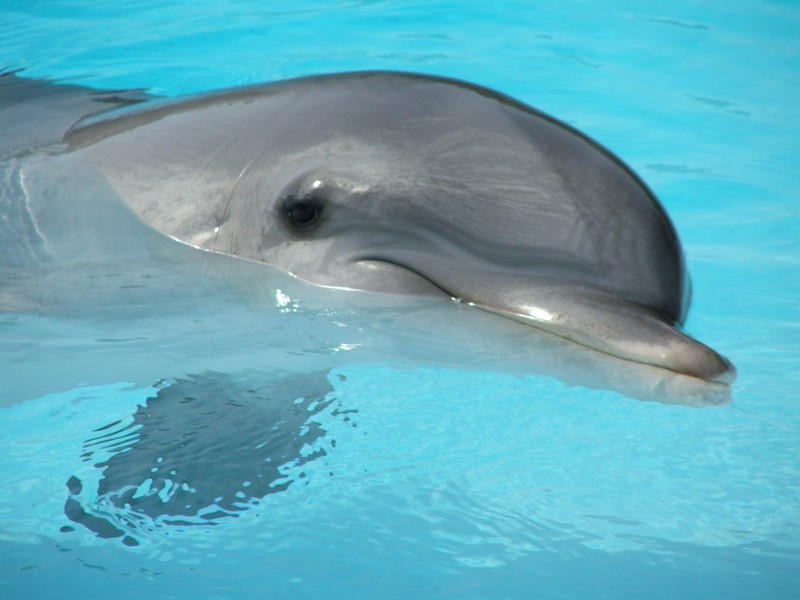 Dolphin by Dvenas