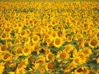 Sunflower by Dvenas