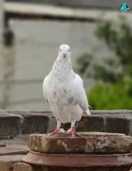 Pigeon by PB08Arts