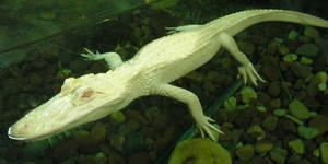 Albino Alligator by K8lynProverbs