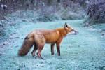 My beautiful wild fox friend Ginger 82