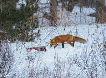 Ginger Red Fox came for a Visit by Nini1965