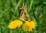 Giant Swallowtail Butterfly 6
