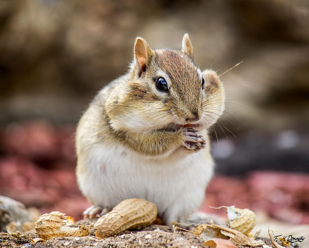 Peanut the Chipmunk is very Pregnant 1 by Nini1965