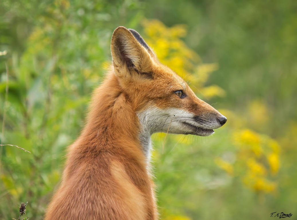Chili, the Red Fox 65 by Nini1965