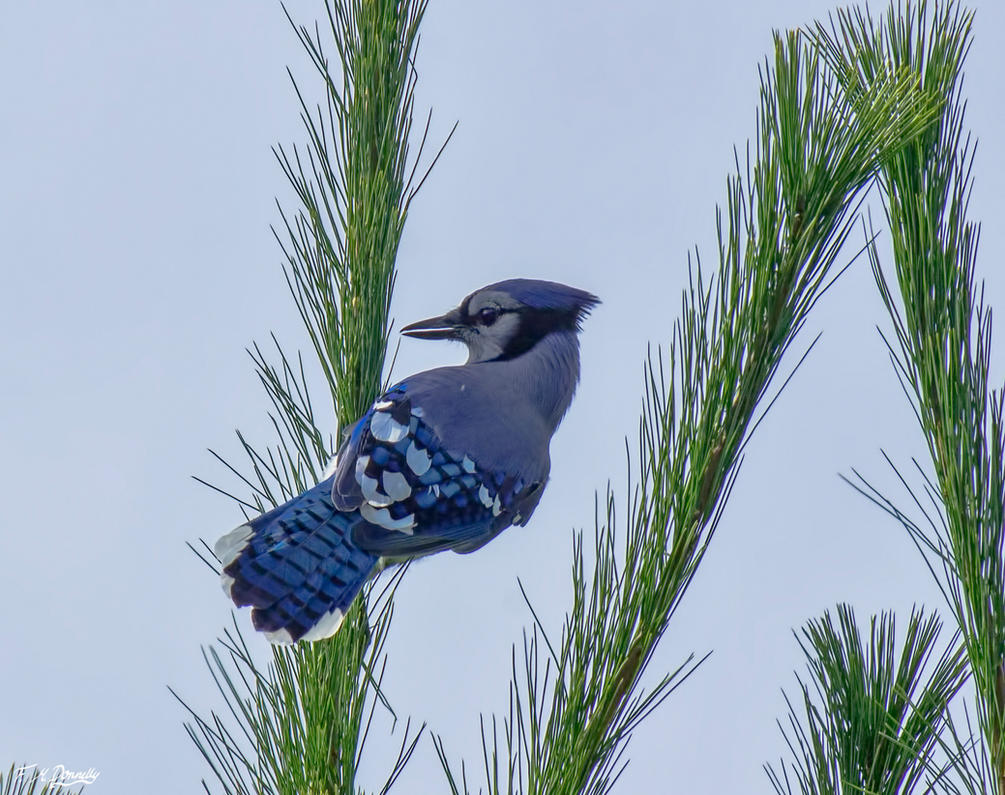 Blue Jay 12 by Nini1965
