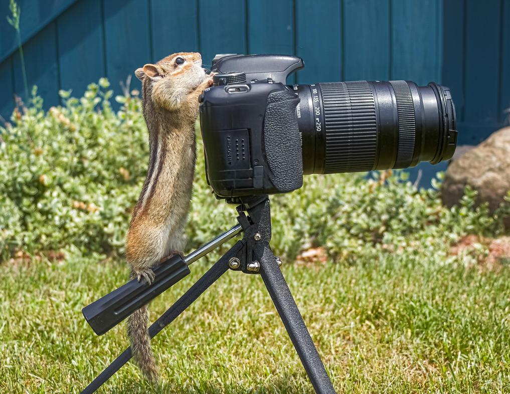 Chipmunk Examining a Camera 1 by Nini1965
